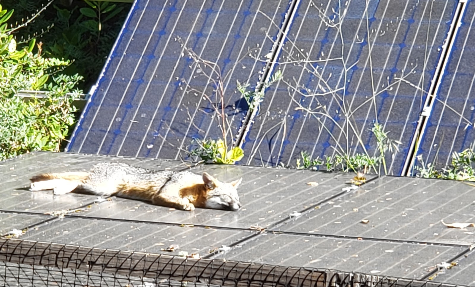 A friendly visitor taking a sun bath on solar panels at the home of Sun Light & Power founder and President, Gary Gerber.